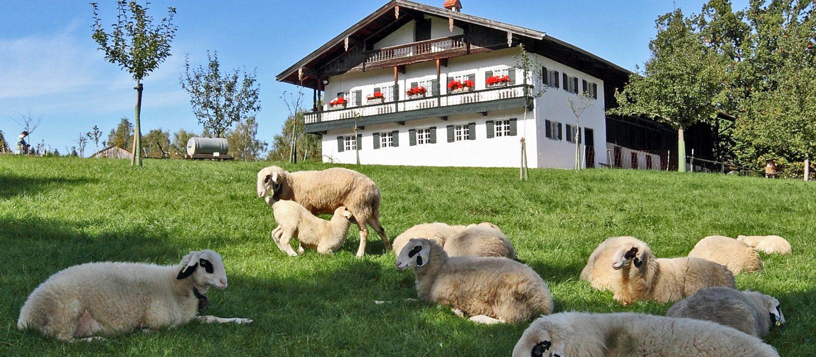 Schafe auf einer Wiese vor einem Hof in Altenbeuern